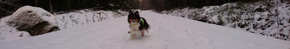 Shetlandsheepdog